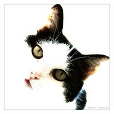 High key von schwarz weisser Katze, Scottie