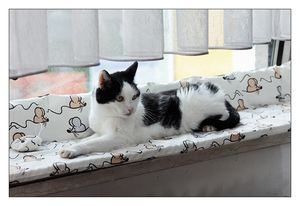 Scottie, schwarz-weisse Hauskatze, Kater, 17 Jahre